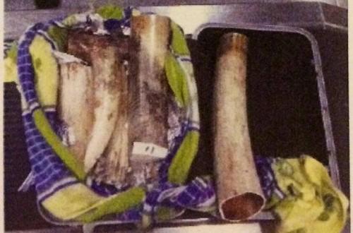 Vietnam customs seizes 45kg ivory, 103kg rhino horns at airport