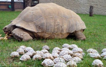 Babies of endangered Pinzon giant tortoise born in Galapagos Islands