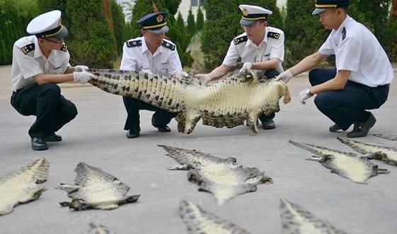 Chinese Customs destroys 20 seized crocodile skins