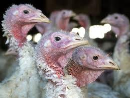 New bird flu virus strain shuts down Indiana Turkey farm