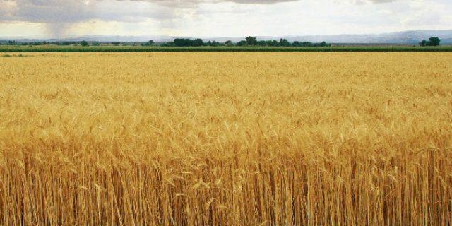 Morocco Removes Customs Duty on Russian Grain