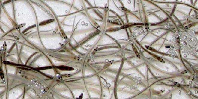 80% of young eels farmed in Japan may have been smuggled from Taiwan via Hong Kong