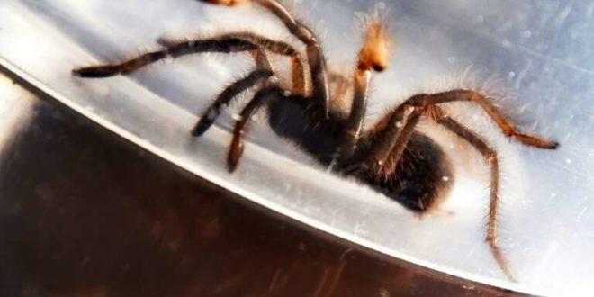 Spider surprise: Philippines seizes 750 smuggled tarantulas