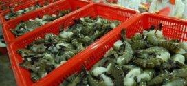 Việt Nam to promote shrimp exports to EU next year