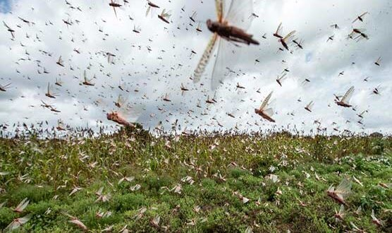 Locust attacks damage crops in South Punjab